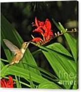 Male Rufous Hummingbird Canvas Print