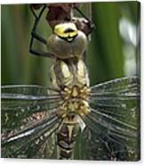 Male Southern Hawker Dragonfly Canvas Print
