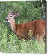 Male White Tailed Deer In A Spring Meadow Canvas Print