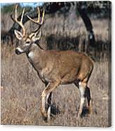 Male White-tailed Deer Canvas Print