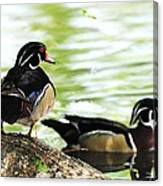 Male Wood Ducks Canvas Print