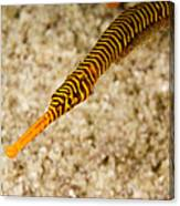 Male Yellow Banded Pipefish Carrying Canvas Print