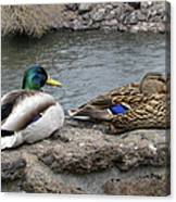 Mallard Duck Couple Canvas Print