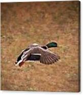 Mallard Duck In Flight Canvas Print