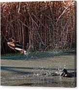 Mallard In Flight Canvas Print