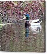 Mallard On A Pond Canvas Print