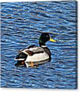 Mallard Swimming Canvas Print