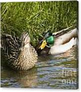 Mallards Nesting Canvas Print