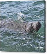 Manatee At Ponce Inlet Canvas Print
