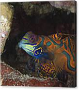 Mandarinfish Sheltering Amongst Rocks Canvas Print
