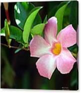 Mandevilla Pink Canvas Print