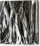 Mangrove Tentacles  Canvas Print