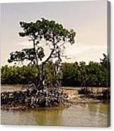 Mangroves In The Everglades Canvas Print