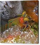 Mantis Shrimp Canvas Print