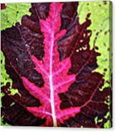Many Leaves Of Coleus Canvas Print
