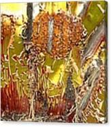 Manzanita Knees Canvas Print