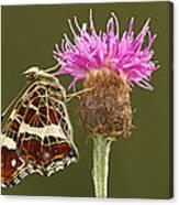 Map Butterfly Araschnia Levana Canvas Print