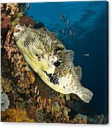 Map Pufferfish, Indonesia Canvas Print