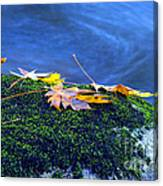 Maple Leaves On Mossy Rock Canvas Print