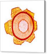 Maple Stem, Light Micrograph Canvas Print