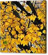 Maple Tree Panorama Canvas Print