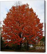 Maples In The Meadow Canvas Print