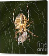 Marbled Orb Weaver Spider Eating Canvas Print