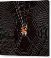 Marbled Orb Weaver Spider Canvas Print