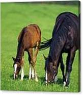 Mare And Foal Thoroughbred Horses Canvas Print