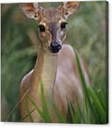 Marsh Deer Blastocerus Dichotomus Canvas Print