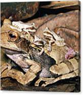 Marsupial Frog Gastrotheca Ovifera Canvas Print