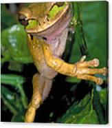 Masked Treefrog Canvas Print