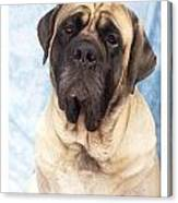 Mastiff 369 Canvas Print
