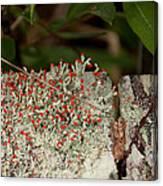 Matchstick Lichen Canvas Print