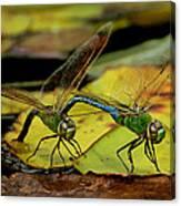 Mating Dragonflies Canvas Print