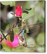 Mating Dragonfly Canvas Print