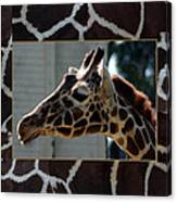 Matted Giraffe Canvas Print