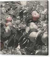 Mcintosh Apples In Partial Color Canvas Print