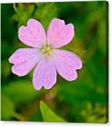 Meadow Checker Mallow Canvas Print