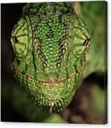 Mediterranean Chameleon Chamaeleo Canvas Print