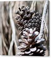 Dry Mediterranean Pinecone With Winter Colors Canvas Print