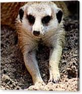 Meerkat Chilling Out Canvas Print