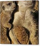Meerkat Pups With Their Caretaker Canvas Print