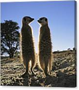 Meerkats Start Each Day With A Sunbath Canvas Print