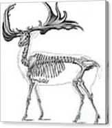Megaloceros, Cenozoic Mammal Canvas Print