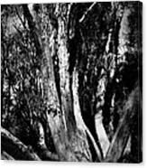 Melaleuca Tree Canvas Print