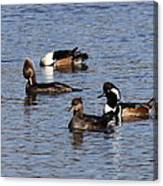 Mergansers After The Rain Canvas Print