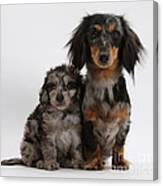 Merle Dachshund And Doxie Doddle Pup Canvas Print