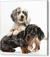 Merle Dachshund Pups Canvas Print