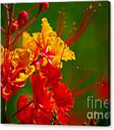 Mexican Bird Of Paradise Canvas Print